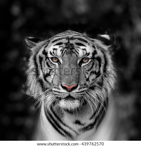 Tiger at the zoo. - stock photo