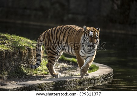 Tiger at walking