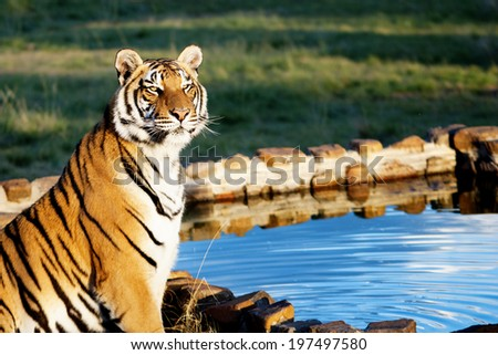 Tiger at Water / Tiger at Water Staring into the Sunset - stock photo