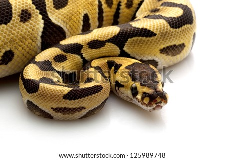 tiger ball python (Python regius) isolated on white background. - stock photo