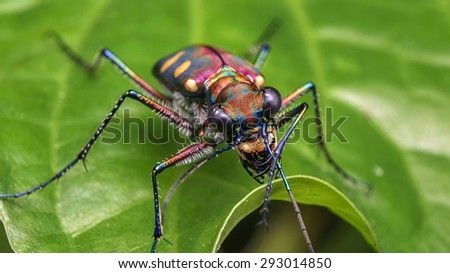 Tiger Beetle/Tiger Beetle/Tiger Beetle - stock photo