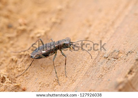 tiger beetles insects - cicindelidae on the ground, take photos in the natural wild state, Luannan County, Hebei Province, China. - stock photo