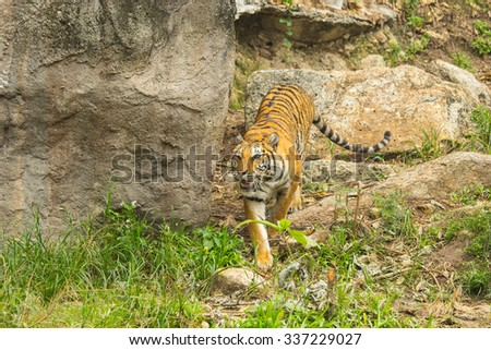 Tiger bengal hunter in the nature.