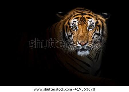 Tiger, Bengal tiger  - stock photo