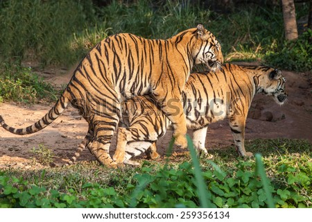 Tiger Breeding