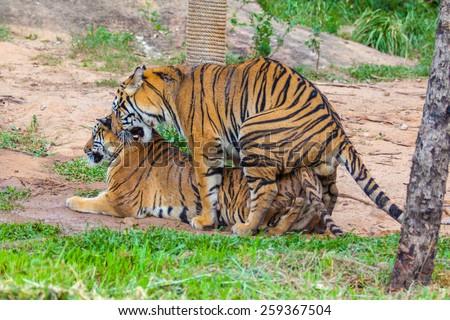 Tiger Breeding - stock photo