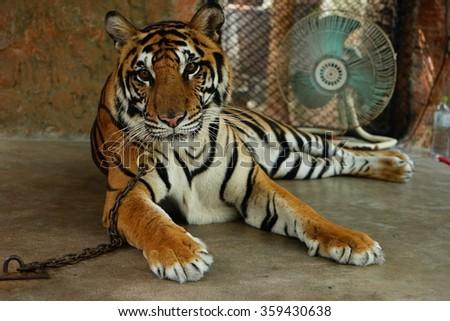Tiger,Close-up - stock photo