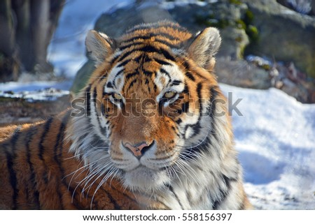 The characteristics of the tiger a feline carnivore species