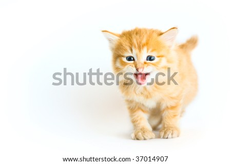 Tiger colored kitten meowing on the white background