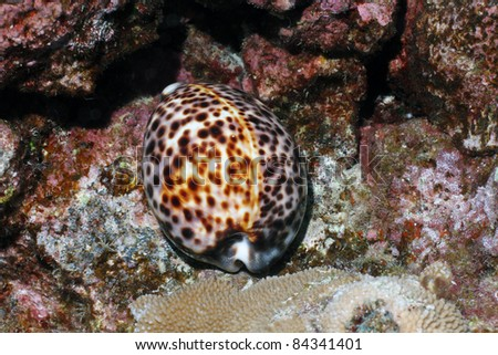 Tiger Cowrie - stock photo