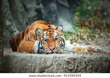 Tiger crouching on a rock.