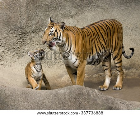 Tiger Cub and Adoring Mother - stock photo