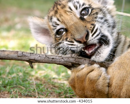 Tiger cub at play - stock photo