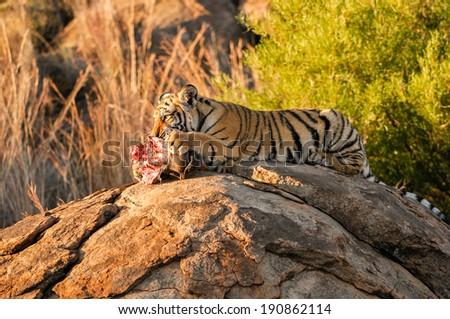 Tiger cub feeding - stock photo