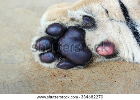 Tiger cub paw. Cute tiger paws close-up.  - stock photo