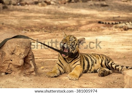 tiger cub play yawns laying on the ground tired lazy wildcat - stock photo