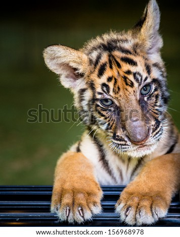 Tiger cub portrait - stock photo