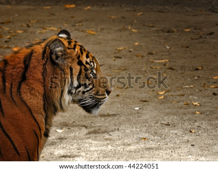 Tiger Cub Side-View - stock photo