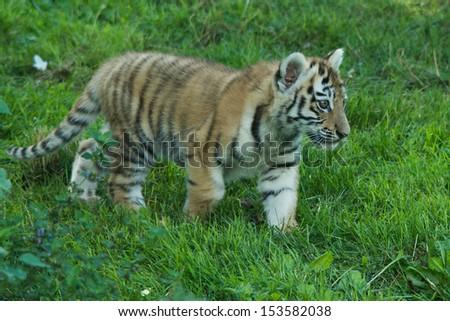 Tiger Cub walking on grass - stock photo