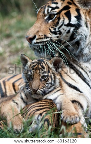 Tiger cub with mom - stock photo