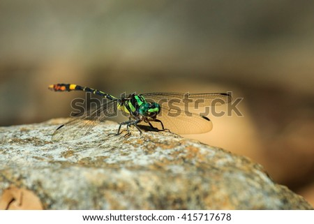 Tiger dragonfly in the nature