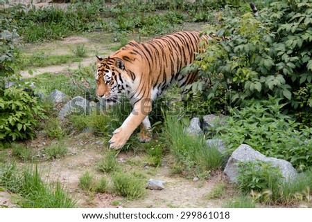 Tiger emerges from behind a bush along the trail - stock photo