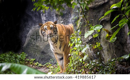 Tiger emerges from behind  bush along the trail