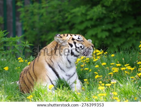 Tiger enjoying spring