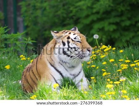 Tiger enjoying spring - stock photo