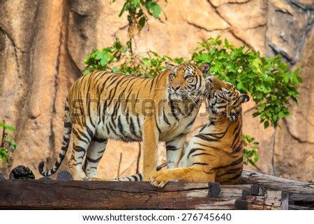 Tiger expressive behavior towards each other. - stock photo