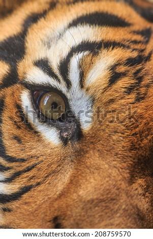 tiger eye in detail - stock photo