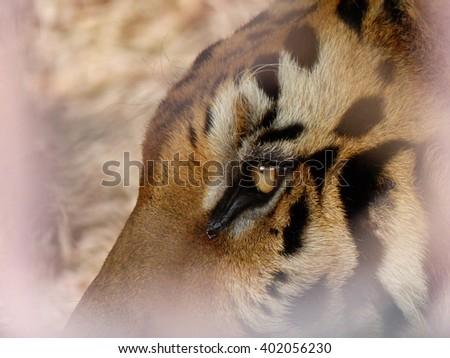 Tiger eyes closeup - stock photo