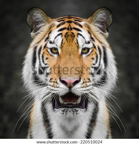 Tiger face close up - stock photo