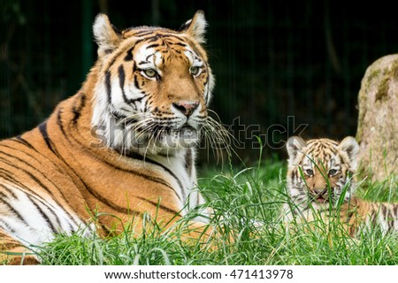 Tiger Family - Mother and Tiger Baby