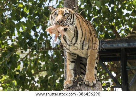 Tiger, ferocity and fear are unlikely to eat prey. - stock photo