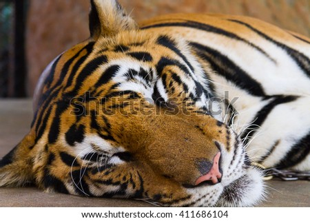 Tiger fierce and scary and a good hunter. - stock photo