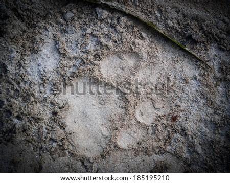 Tiger foot print in Bardia National Park, Nepal - stock photo