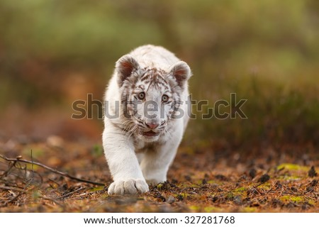tiger goes low to the ground - stock photo