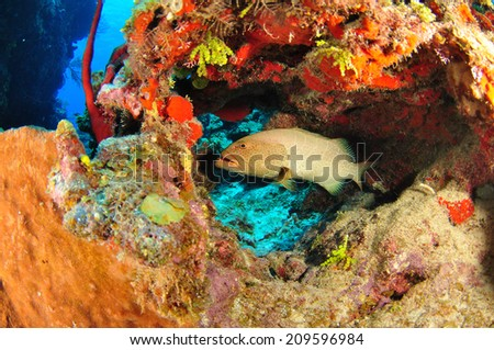Tiger Grouper getting cleaned in the reef, Grand Cayman - stock photo