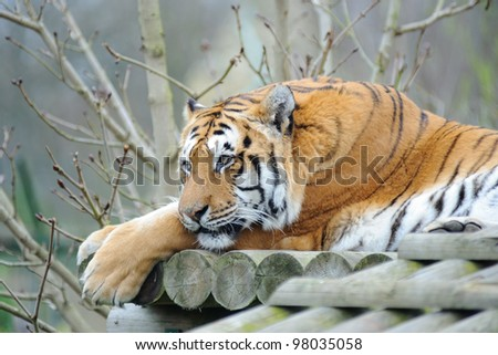 Tiger having a rest - stock photo