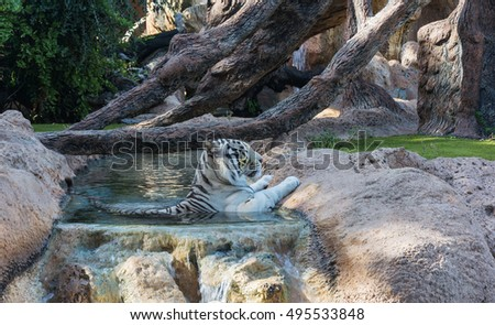 Tiger hid from the heat of the day in the water flow.