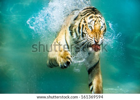 Tiger hunting under water - stock photo