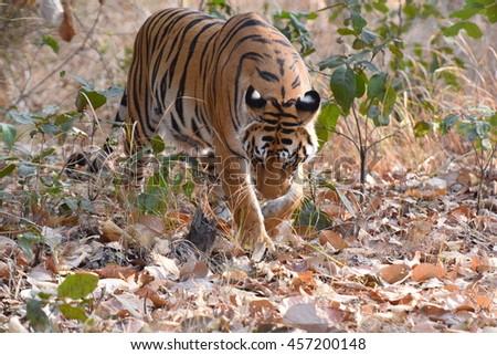 Tiger in Jungle, Kanha national park - India - stock photo