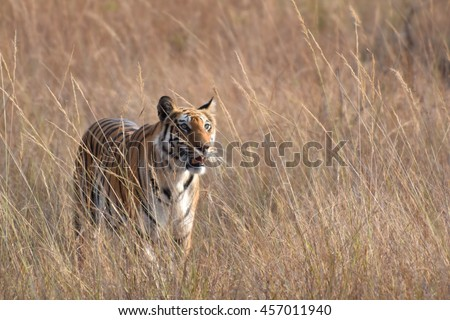 Tiger in meadow Kanha national park, India - stock photo