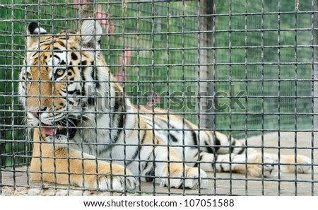 Animal cage stock photos images pictures shutterstock - Tiger in cage images ...
