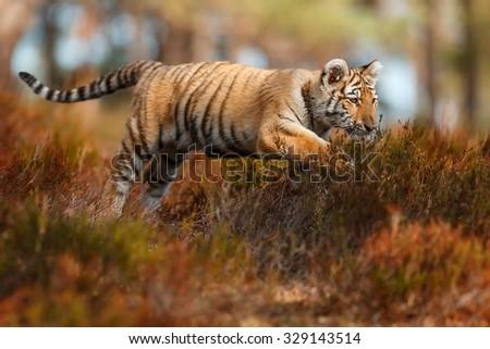 tiger in move - stock photo