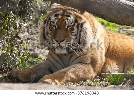 tiger in sleeping time