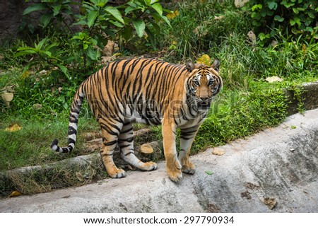 Tiger in Thailand Zoo - stock photo