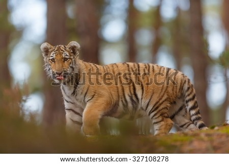 tiger in the forest - stock photo