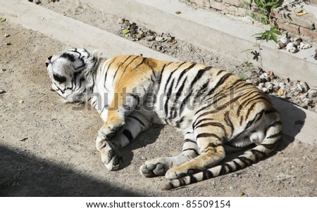 tiger in the northeast of china - stock photo